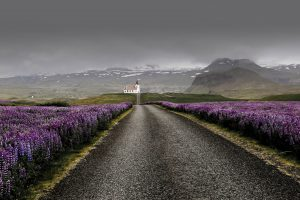 lupines in westfjords in iceland